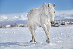 Horse in Snow Royalty Free Stock Images