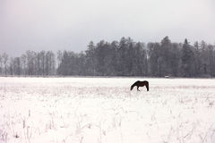 A horse in a snowy field Royalty Free Stock Image