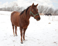Horse in a snowy field Stock Images