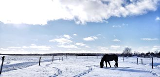 Dark horse relaxing in a winter field stock images