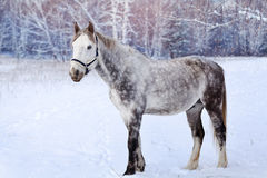 Horse in a snowy forest Royalty Free Stock Image