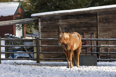 Horse in snowy pasture. Stock Images