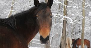 Horse on the snowy pasture. Close-up stock video