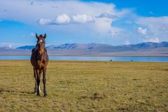 Horse by Song Kul lake. Young horse standing in scenic landscape around Song Kul lake, Kyrgyzstan Stock Image