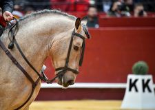 Horse  spanish in spectacle. Big spanish horse in spectacle in spain Stock Photography