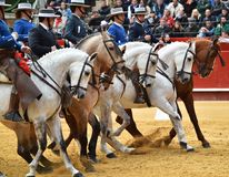 Horse  spanish in spectacle. Big spanish horse in spectacle in spain Stock Image