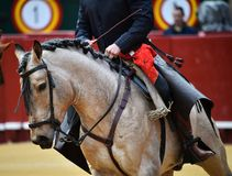 Horse  spanish in spectacle. Big spanish horsel in spectacle in spain Royalty Free Stock Photos