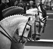 Horse  spanish in spectacle. Big spanish horses in spectacle in spain Stock Photography