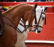 Horse  spanish in spectacle. Big spanish horses in spectacle in spain Stock Photo