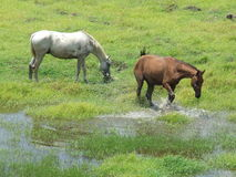 Horse splashing water. In a green grass farm Royalty Free Stock Images