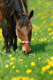 Horse in spring pasture. Brown horse grazing in the dandelion field Stock Photography