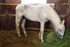 Horse in stable. Fodder white horses in stable Royalty Free Stock Photo