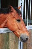 Horse in stable. Portrait of a brown male horse in stable Stock Images