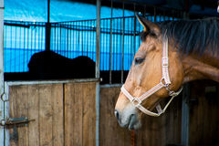A horse in a stable. A chestnut horse in a stable Royalty Free Stock Images