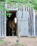 Horse in stable. Beautiful horse standing in a stable on a hobby farm Royalty Free Stock Photos