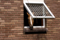 Horse on stable. Head of a horse looks out of a stable Royalty Free Stock Images