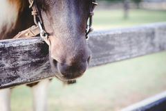 Horse in a stable. Close up and selective focus on horse muzzle with chin groove lay on stable Royalty Free Stock Photography