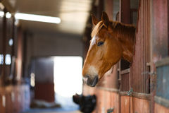 Horse in a stable. Head of horse looking over the stable doors Royalty Free Stock Photography