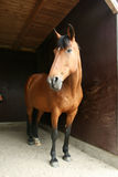 Horse in stable. Huge brown Horse in stable Royalty Free Stock Images