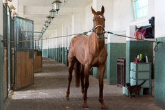Horse in the stable. Photo of brown horse standing in the stable Royalty Free Stock Photography