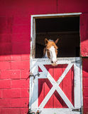 Horse in Stable. Red barn with split door Royalty Free Stock Photography