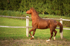Horse in a stable running and joying at sunset. Royalty Free Stock Photo