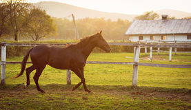 Horse in a stable running and joying at sunset. Royalty Free Stock Images