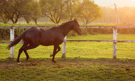 Horse in a stable running and joying at sunset. Stock Images