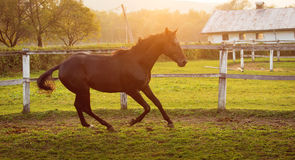 Horse in a stable running and joying at sunset. Stock Photos