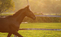 Horse in a stable running and joying at sunset. Royalty Free Stock Photos