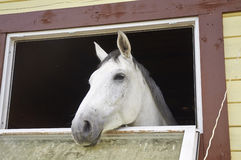 Horse in a stable window in the village Vladykino in Russia Stock Images