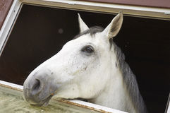 Horse in a stable window in the village Vladykino in Russia Royalty Free Stock Image