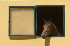 Horse stabled at the window Stock Images