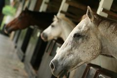 Horse in stables. Three horses resting in stables royalty free stock photography
