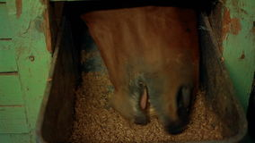 Horse stables eat from trough oats stock video footage