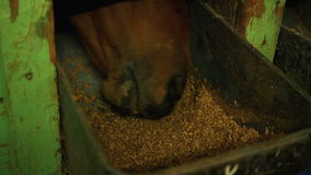 Horse stables eat from trough oats stock footage