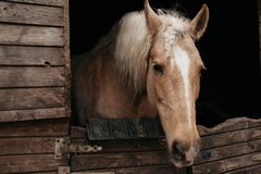 Horse in the stables. Muzzle of a horse in the stable Stock Photos