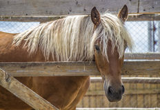 The horse in the stall. Horse in a paddock with a white mane Royalty Free Stock Image