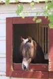 Horse Stall. A stunning Morgan Stallion looking out his stall on a pretty Spring day in Oklahoma stock photography