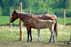 Horse and Stallion. Mum Horse and her stallion. In hot summer day, the Siberian taiga. Russia Stock Photos