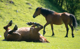 Horse stallon laying on his back in a paddock in summer Royalty Free Stock Photo