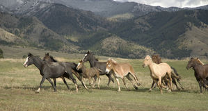 Horse stampede. Horses stampeding,Montana, mountain background Royalty Free Stock Images