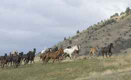 Horse stampede. Horses stampeding to avoid round up Royalty Free Stock Photography
