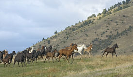 Horse stampede on  Montana horse ranch Royalty Free Stock Images