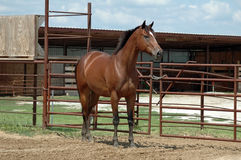 Horse standing. Bay thoroughbred horse standing in arena by metal gate stock photography