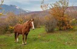 Horse standing on autumnal pasture located in Crimean mountains. Lonely tatar horse standing on autumnal pasture located in Crimean mountains Royalty Free Stock Photos