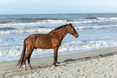 Horse standing on beach in Honduras Royalty Free Stock Image
