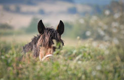 Horse standing behind a tree Royalty Free Stock Photos
