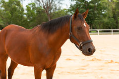 Horse standing. The brown horse standing in the arena Royalty Free Stock Photo