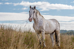 Horse standing in dry grass, eating some of it Royalty Free Stock Image